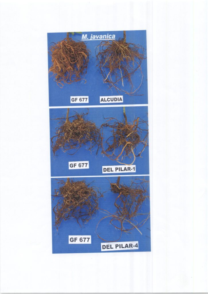 evaluacion-nematodos-patrones-melocotonero-008