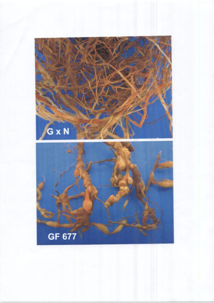 evaluacion-nematodos-patrones-melocotonero-010